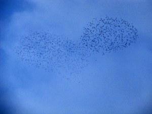 A Starling Dance